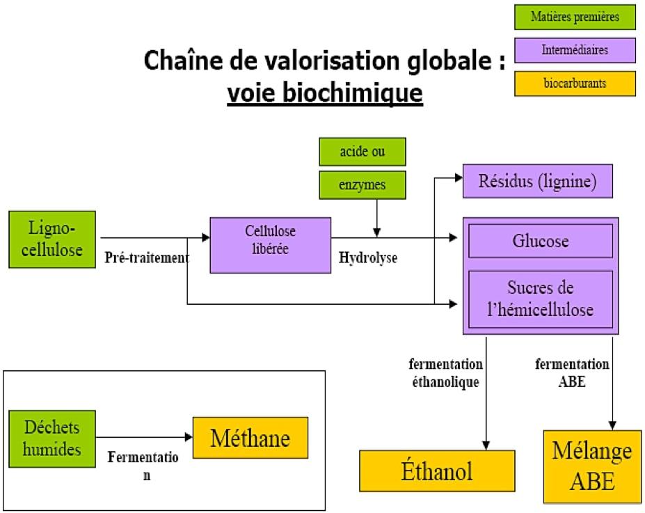 voie-biochimique